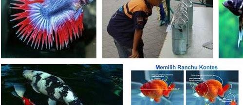 Cara Memilih Ikan Hias yang Baik untuk Dipelihara dan Kontes