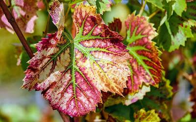 wine leaf widescreen resolution hd wallpaper