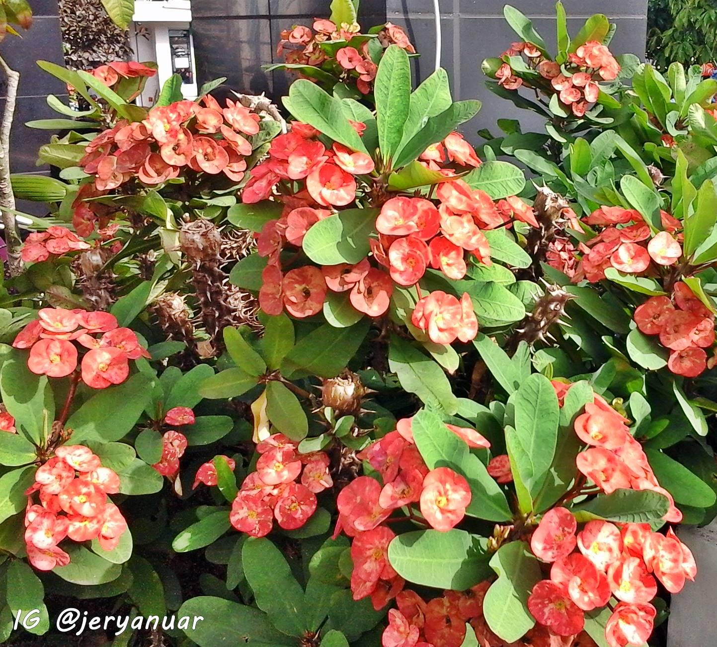 Cara Menyiram Euphorbia Yang Baik & Benar