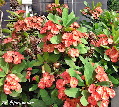 Euphorbia Marak Tunas dan Bunga