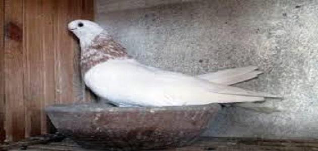 الحمام الصافي ملك الحمام