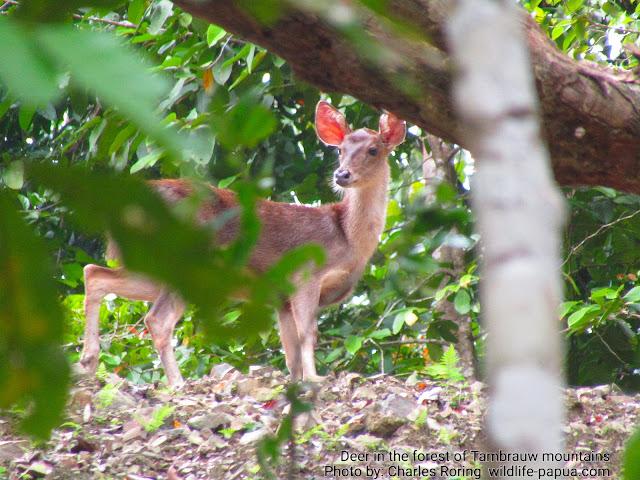 Cervus timorensis deer in Tambrauw mountains