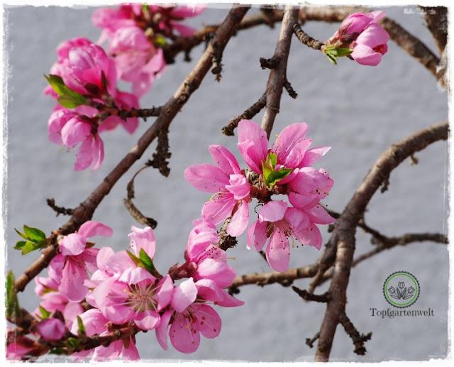 Gartenblog Topfgartenwelt Obstbaumblüte Frühlingsgarten: Nektarine