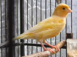 Foto Burung Kenari Daftar Harga Terbaru