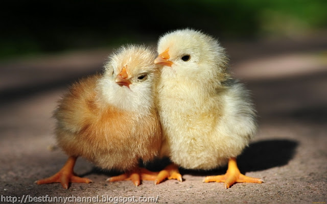 Cute chickens 3.