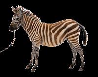 Zebra em png