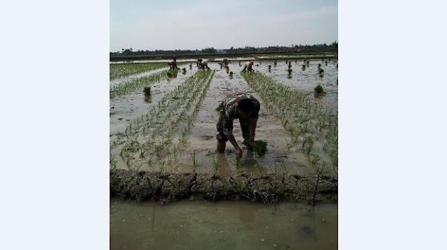 Sertu AL Samosir Dampingi Petani Tanam Padi di Desa Tanjung Sigoni