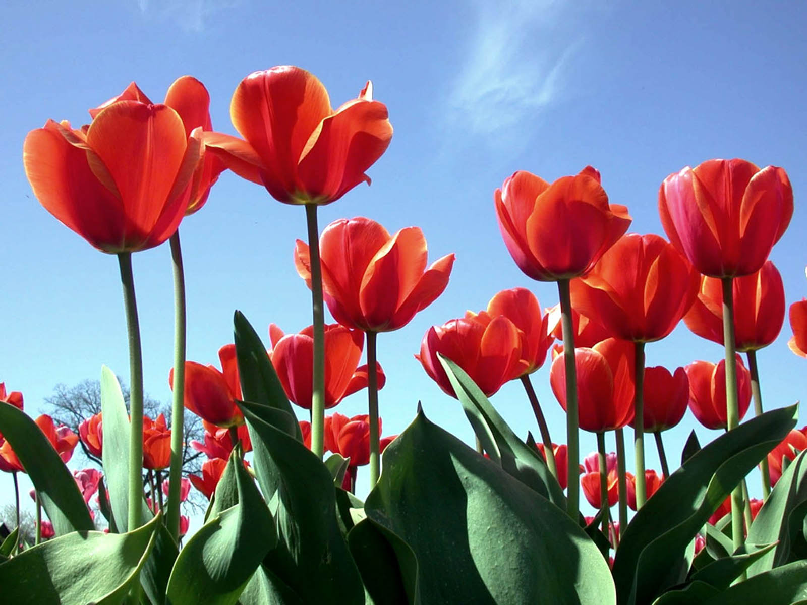 Wallpaper: Red Tulips Wallpapers