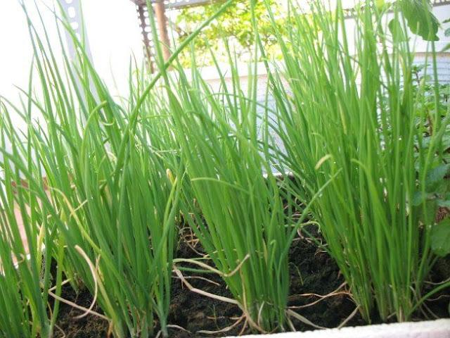 Cách tự trồng hành lá tại nhà đơn giản