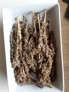 Quinoa kweken in Nederland