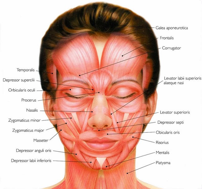Agree, remarkable Facial muscle functions join