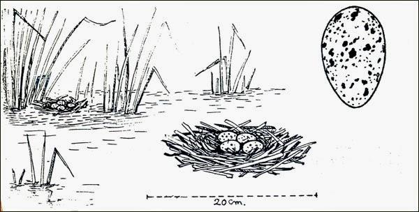 nido de pollona pintada Gallinula melanops