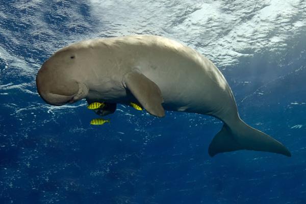 Resultado de imagen para Dugongos ( Dugong Dugon )
