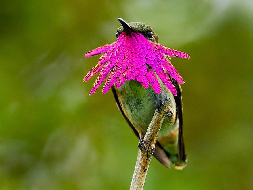 Os belos beija-flores e suas lindas canções!
