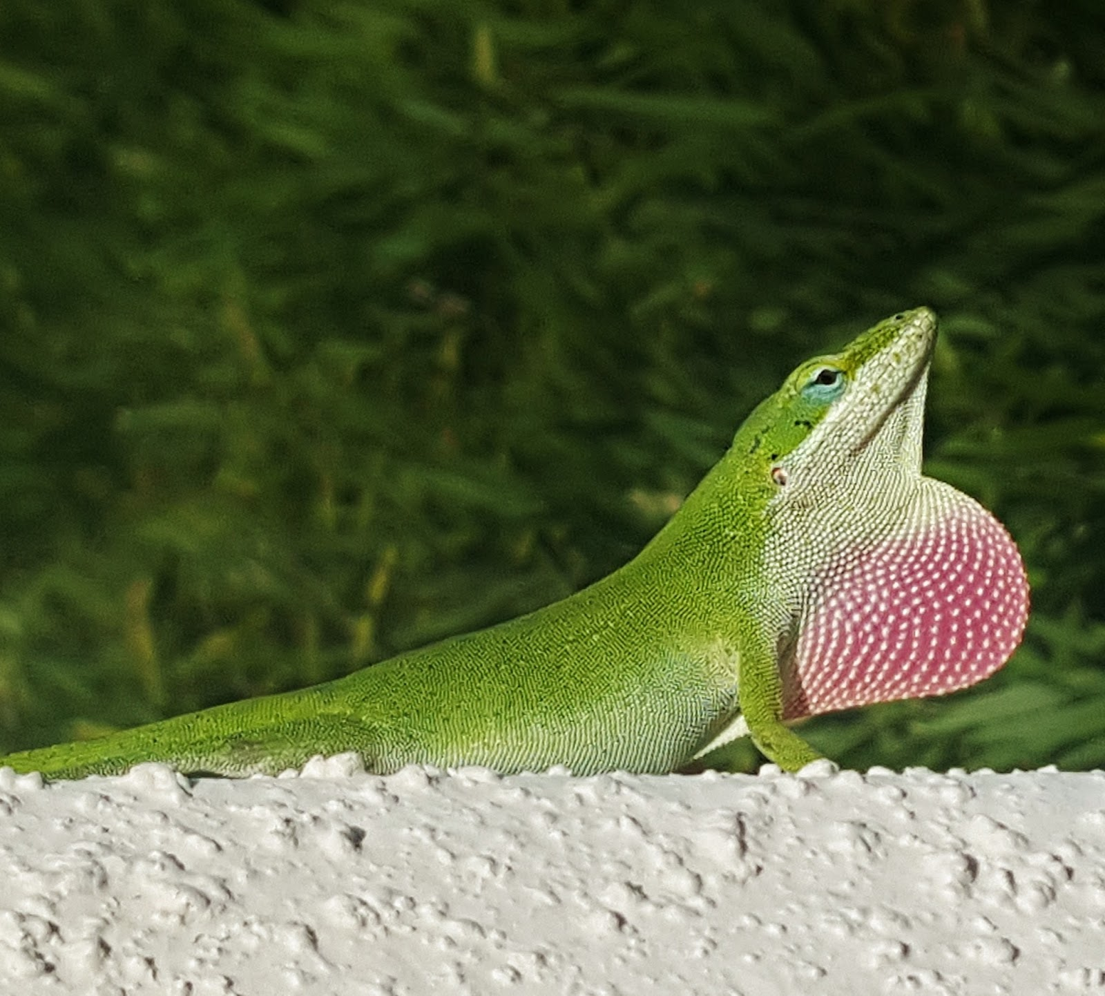 Amazing photo of the anole green lizard.