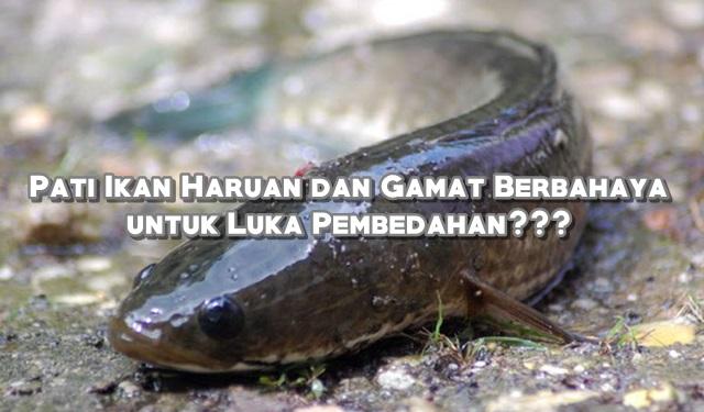 Pati Ikan Haruan dan Gamat Berbahaya untuk Luka Pembedahan???