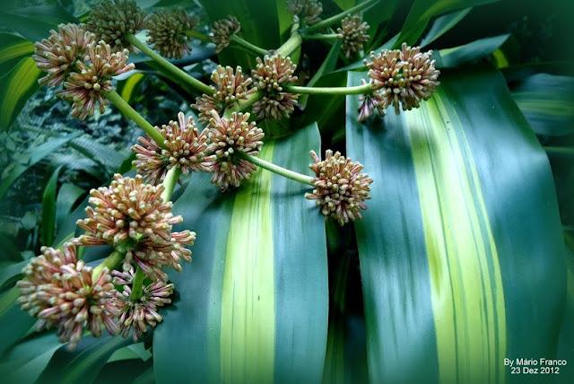 Flores  Dracaena fragrans 'Massangeana'