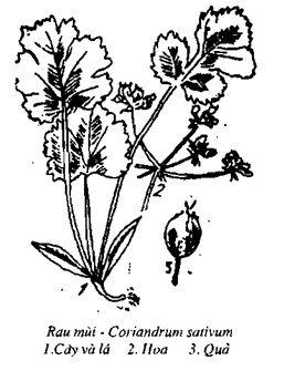 Hình vẽ Rau Mùi - Coriandrum sativum - Nguyên liệu làm thuốc Chữa Bệnh Tiêu Hóa