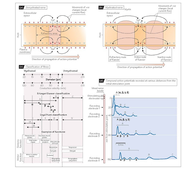 Conduction Of Action Potentials