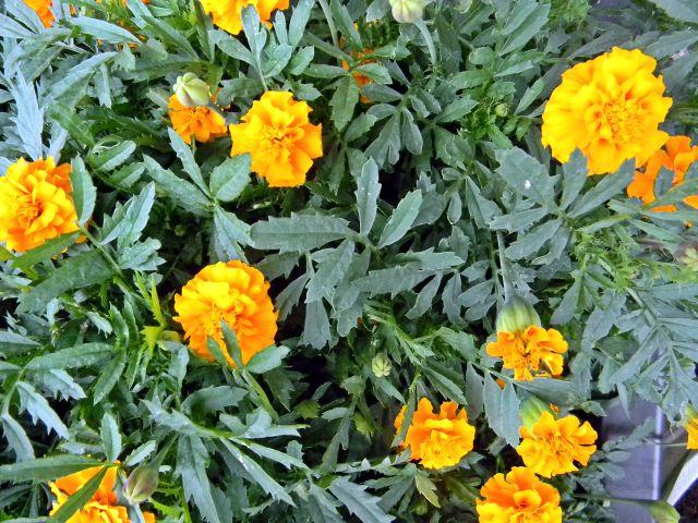 rośliny ozdobne, turki, kwiaty