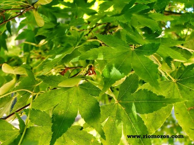 Arce japonés: Acer japonicum