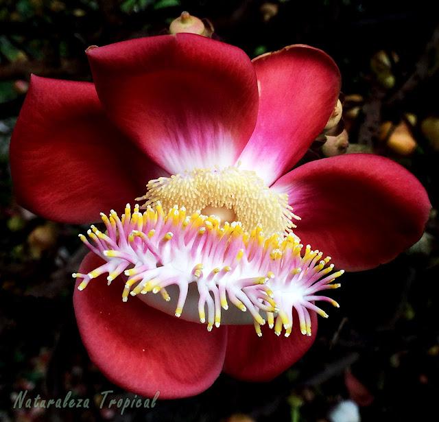 Flor característica del Árbol Bala de Cañón, Couroupita guianensis