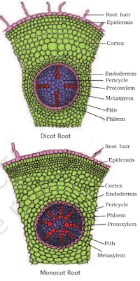Dicot Root and Monocot Root difference