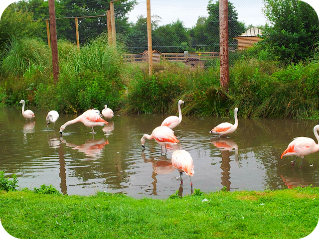 flamingos, wingham wildlife park