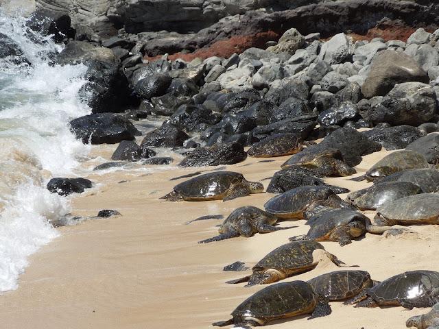 resting sea turtles