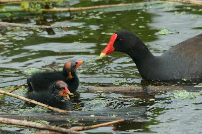 Common Gallinule (Gallinula galeata)