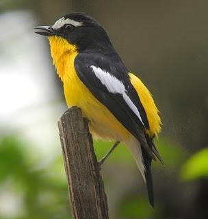 Mengenal Jenis Burung Sikatan Emas Dari Dekat Dan Ciri - Cirinya