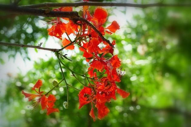 Hình ảnh hoa phượng sân trường gắn liền tuổi học trò