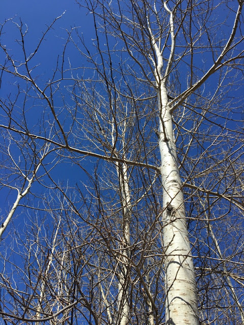 poplar trees against a blue sky