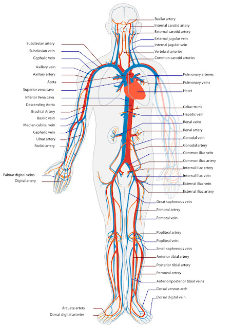 What are arteries, veins and capillaries