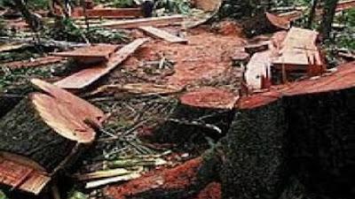 Ilegal Logging Babat Habis 21 Hektar Hutan di Pessel