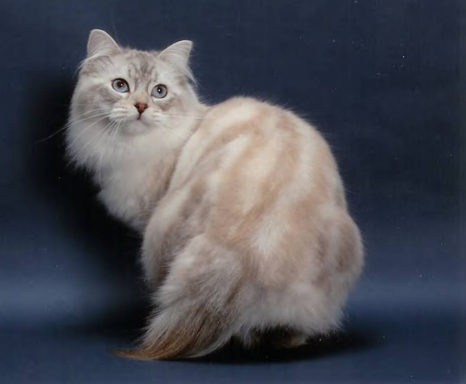 American Bobtail Cat With Long Tail