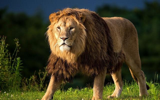 Singa Malah Menjadi Kucing