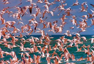 Outdoors 720: Thousands of pink flamingos flock together ...