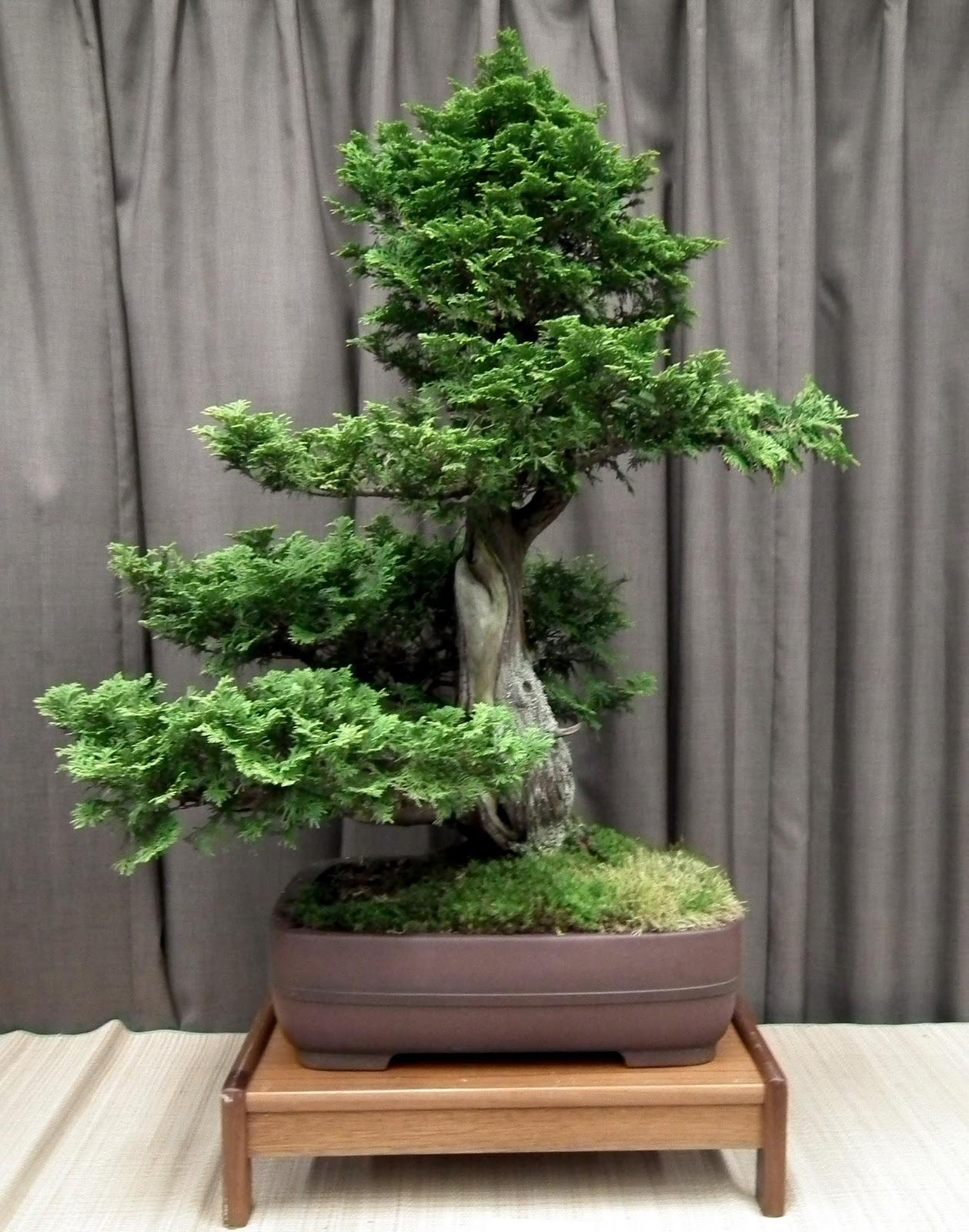 Scented Leaf Thuja Occidentalis Eastern White Cedar