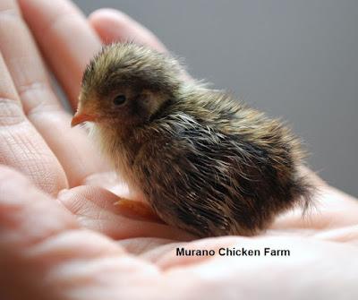 Baby button quail