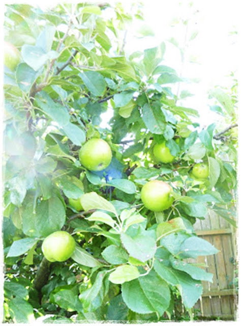heavily fruited apple tree