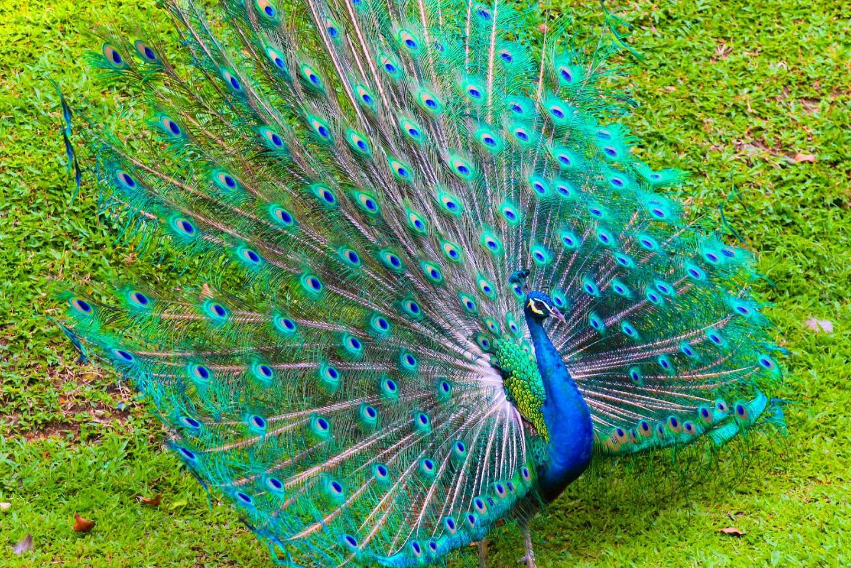 peacock information in hindi