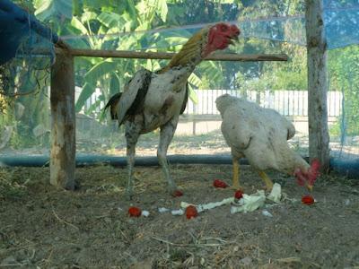 Shamo-Hühner Thailand