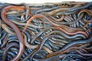 cara budidaya ikan sidat di kolam terpal,cara budidaya ikan sidat di kolam beton,cara budidaya ikan sidat di jawa timur,cara budidaya ikan sidat air tawar,cara budidaya ikan sidat di kolam beton,