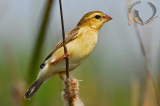 burung manyar, manyar, suara burung manyar