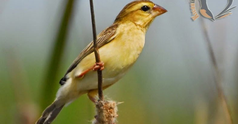 Download Suara Burung Manyar Gacor Mp3 Untuk Masteran