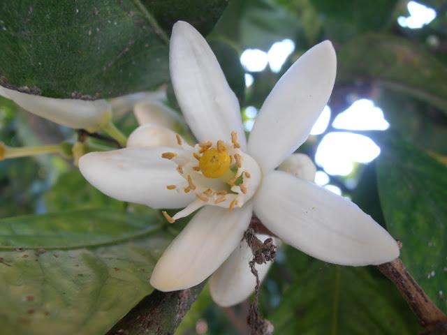 naranjo-amargo-citrus-sinensis