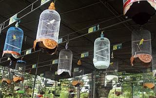 Menentukan Lovebird Jawara