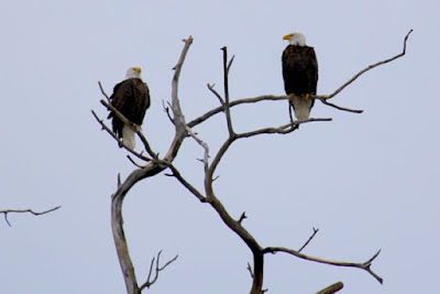 this is a photo of 2 bald eagles in a tree, True?
