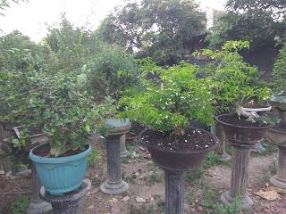 Pengusaha bonsai sragen yang sukses